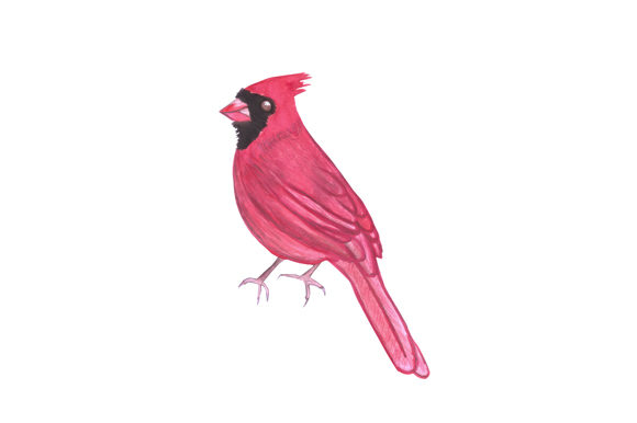 Download Free Red Cardinal Bird Watercolor Graphic By Shawlin Creative Fabrica for Cricut Explore, Silhouette and other cutting machines.