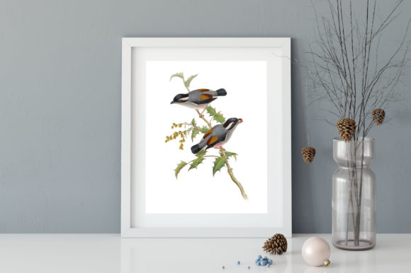 Download Free Grey Headed Babbler Bird Illustration Graphic By Antique Pixls for Cricut Explore, Silhouette and other cutting machines.