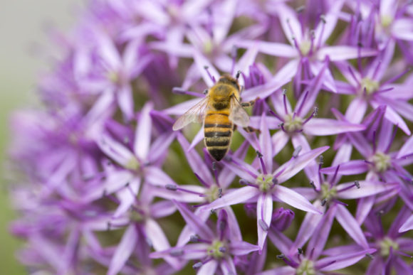 Flowering Allium and Bee Graphic Animals By emikundesigns