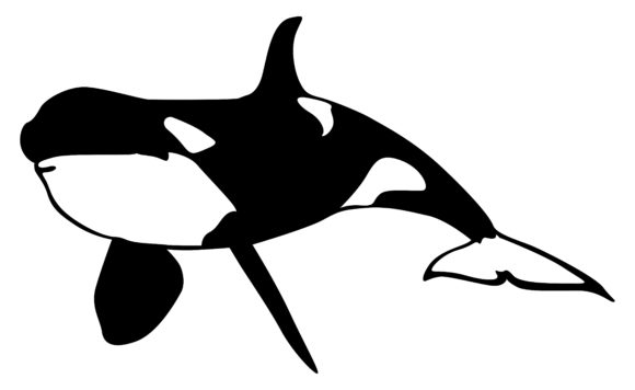 Orca Whale Vector Graphic