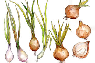 Print on Demand: Onion Vegetables Watercolor Set Graphic Illustrations By MyStocks