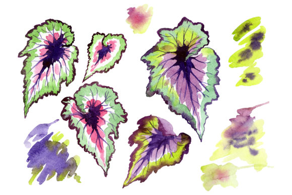 Print on Demand: Nautilus-leaf Begonia Watercolor Graphic Illustrations By MyStocks