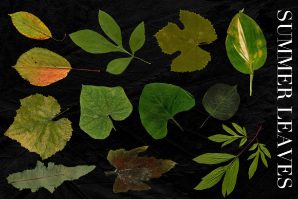 Print on Demand: 25 Isolated Summer Leaves Graphic Objects By ArtistMef - Image 2