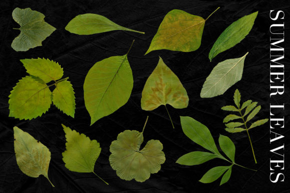 Print on Demand: 25 Isolated Summer Leaves Graphic Objects By ArtistMef - Image 3