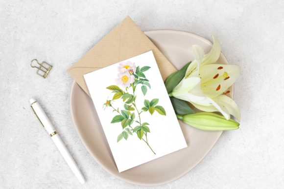White Rose in Bloom Illustration Graphic Illustrations By Aneta Design
