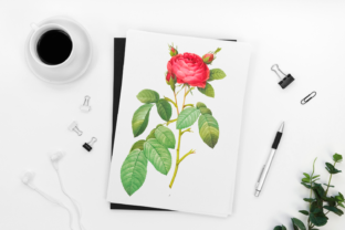 Red Rose in Bloom Vintage Graphic Graphic Illustrations By Aneta Design
