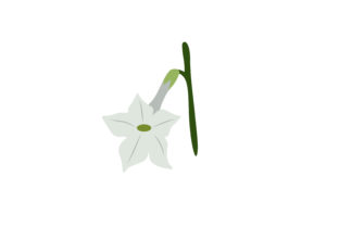 Print on Demand: Nicotiana Flower Graphic Illustrations By archshape