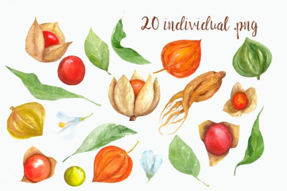 Watercolor Physalis Clip Art Graphic Illustrations By tatibordiu