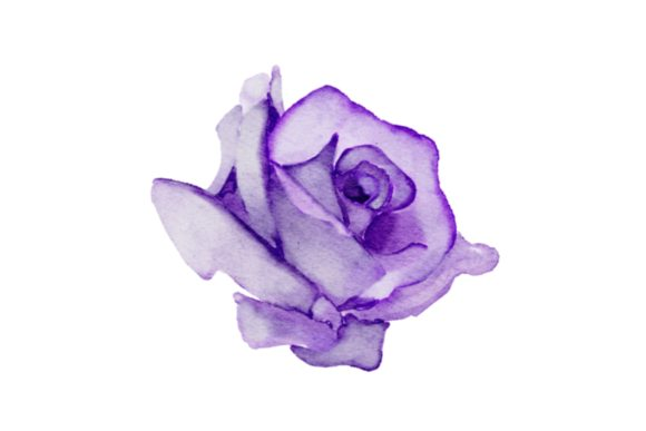 Print on Demand: Purple Rose Watercolor Realistic PNG Graphic Illustrations By goodigital