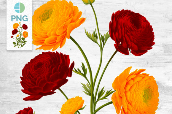 Flowers Ranunculus Clipart Graphic Illustrations By Enliven Designs