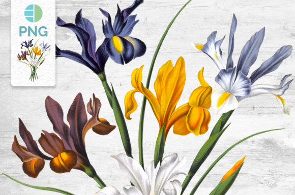 Iris Clipart Flower Graphic Illustrations By Enliven Designs