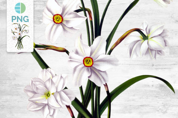 Daffodil Clipart Flower Graphic Illustrations By Enliven Designs