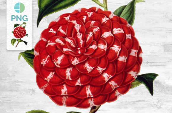 Camellia Clipart Vintage Flowers Graphic Illustrations By Enliven Designs