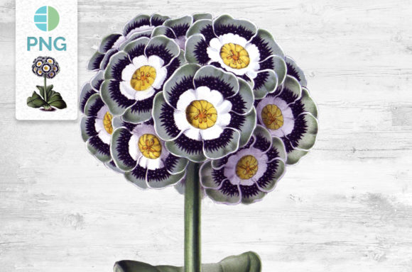 Flower Clipart Vintage Auricula Graphic Illustrations By Enliven Designs