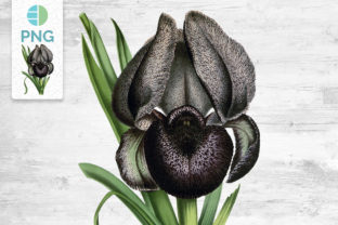 Iris Flower Clipart Vintage Graphic Illustrations By Enliven Designs