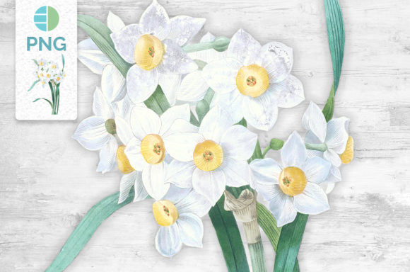 White Daffodil Flower Clipart Vintage Graphic Illustrations By Enliven Designs