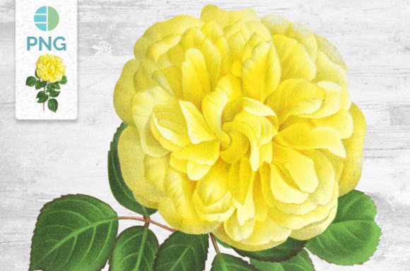 Yellow Rose Flower Clipart Vintage Graphic Illustrations By Enliven Designs