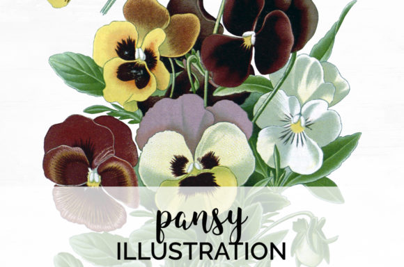Pansy Flower Clipart Vintage Graphic Illustrations By Enliven Designs