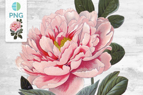 Pink Peony Flower Graphic Illustrations By Enliven Designs