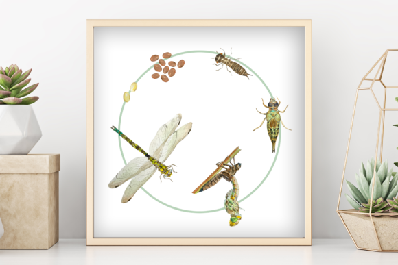 Dragonfly Life Cycle Poster and Clip Art Graphic Illustrations By tatibordiu