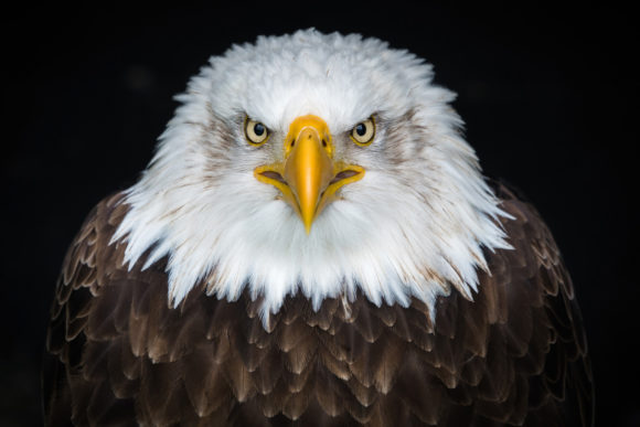 American Bald Eagle Graphic Animals By impresstore