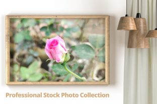 Beautiful Rose Flower Photo Graphic Photos By sagorroybd