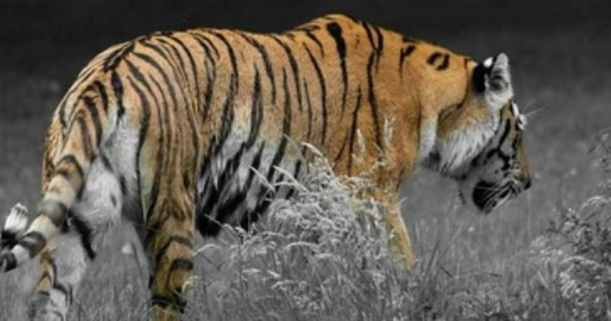 A Painting of the Tiger for Your Living Room