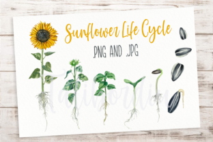 Print on Demand: Sunflower Life Cycle Clip Arts and Print Graphic Illustrations By tatibordiu