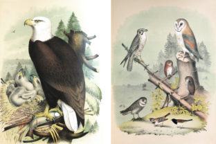 Print on Demand: Two Ornithological Vintage Bird Drawings Graphic Illustrations By michellestillcreates
