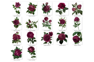 Print on Demand: Vintage Burgundy Roses Clipart Graphic Illustrations By Digital Curio 3